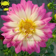 Pink Dahlias Flower Seeds For DIY Home Garden - Dahlias, Garden Decoration Bonsai Flower Seeds, 20pcs/Pack(China)