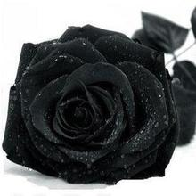 Rose seeds black rose seeds rare Amazingly Beautiful Black Rose Flower - 100 seeds