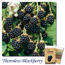 Fruit seeds 100pcs Perennial New Sweet Apache Thornless Blackberry Seeds Tasty Fruit - Fresh Seeds(China)