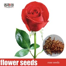 100pcs beautiful red rose seed Bonsai plants Seeds for home & garden