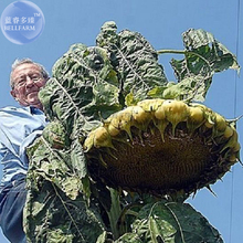 BELLFARM Mongolian Giant Sunflower Seeds, 20 Seeds, heirloom edible ornamental sunflowers E3564