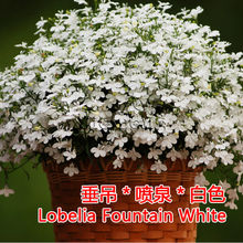 Lobelia Fountain White Seed * 1 Packet ( 30 Seeds ) * Lobelia erinus * Half-hardy Annual * Garden Flower