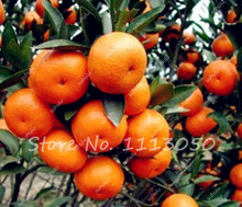 30Pcs Mandarin Tree Colorful Indoor Bonsai Tree Seeds Delicious Citrus Edible Fruit Bonsai Mandarins Orange Seeds(China)