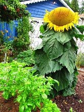 40pcs/bag giant sunflower seeds giant big flower seeds black sunflower russian sunflower seeds for home garden(China)