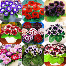 50pcs/bag Picotee Morning Glory seeds,rare petunia seeds,bonsai flower seeds,plant for home garden Easy to Grow