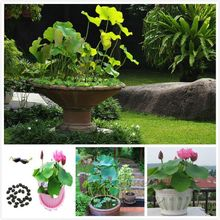 Fast growing 10 Chinese Bowl Lotus Flower Seeds Low maintenance