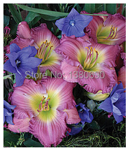 High Quality 50 Seeds/Pack.Potted Perennial  Flower Seeds Daylily Lavender Stardust.DIY Home Garden Seeds,