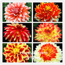 Free Shipping ,Multi-Colored Dahlia Seeds Beautiful Gardens Bonsai Dahlia Flower Seeds Perennial Plant Seeds 100 PCS/lot(China)