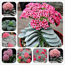 new exotic living stones succulent semillas, cactus succulents seeds echinopsis tubiflora,  rare flower cactus about 100 Pieces