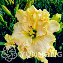 100pcs Special Home Selling Sementes Hybrid Mix Daylily Flowers Seed Rare Unique Hemerocallis Seed Plant Can Be Eat As Vegetable