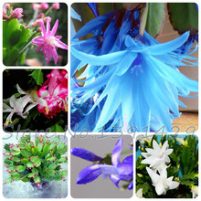 100 pieces/ bag Schlumbergera seed, crab cactus, sementes potted balcony planting, DIY for home & garden, free shipping