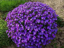 ORIGINAL PACK 50 SEEDS PURPLE VIOLET QUEEN * BEAUTIFUL AUBRIETA CULTORUM FLOWERS * PLUS MYSTERIOUS GITF