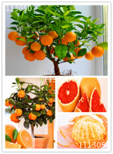 100pcs Edible Fruit Mandarin Bonsai Tree Seeds, Citrus seed Bonsai Mandarin Orange Seeds(China)