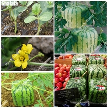 50 Pieces Seeds Rare Simple Geometric Square Watermelons Seeds Delicious & fresh Fruit Water Melon Seeds(China)