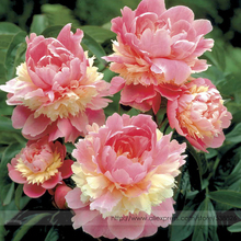 Rare Heirloom Sorbet Robust Colorful Double Blooms Peony Tree Seeds, Professional Pack, 5 Seeds / Pack, Easy Care Plants #NF797