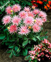 Dahlia Cactus Flower Seeds ' Park Princess ' 100 Pcs Tropical Ornamental Plants Rare Dahlia Terrace Plant Potted Wedding Decor(China)