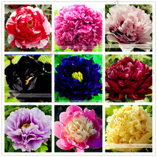 10pcs/pack Very Rare Tree Peony Flower Seeds, New Variety Light up Your Garden mixed color and species(China)