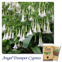 Bonsai Tree seeds 30pcs Angel Trumpet Cypress Gardens (Brugmansia hybrid) BEST FOR CONTAINER! Home gardening DIY,new packing !