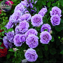 'Pu bu' Purple Big Blooms Climbing Rose Seeds, Professional Pack, 50 seeds, light fragrant compact flowers E4069