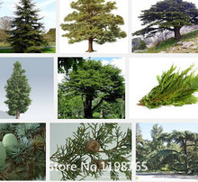 Promotion 1 Professional Pack (100pieces / lot) Cedar Seeds Bonsai Tree Cedar Tree Seeds Perennial Green Pine Seeds Novel Seed