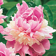10/BAG Rare Heirloom Sorbet Robust Colorful Double Blooms Peony Tree Seeds Easy Care Plants