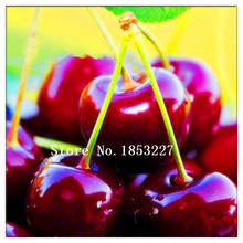 GGG GGG Time-Limit Direct US Cherries cherry tree seed seed dwarf cherry tree fruit seed South sementes da fruta 50 Pcs/bag