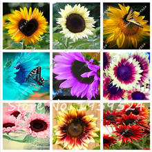 Loss Promotion! 20 pcs Flowers Fortune Sunflower Fortune Sunflower Seeds Flowers Seeds multi color Sun Fortune Bloom Garden Seed