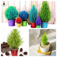 New!50PCS Mini Multicolor ITALIAN CYPRESS Tree Seeds Popular Bonsai Seeds Perennial Potted Plants for DIY Home&Garden Planting(China)
