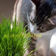 200 pcs CAT grass seeds home garden grass Foliage plant seeds wheat grass mint smell(China)