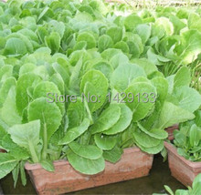 Free Shipping Green Vegetable seeds Pak Choi Chinese Cabbage 400 Seeds For Farmer gardening home plant Vegetales semillas