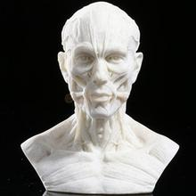 Resin Human Model Anatomy Skull Head Muscle Drawing School Figurine White