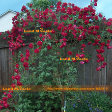 LANDMIRACLE Family Garden Red Rose Tree Seeds, 100 Seeds/Pack, Fresh Red Rose Seeds Outdoor Plants