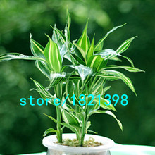 Rare Silver Heart Lucky Bamboo Seeds Absorb Dust Tree Seeds Anti Radiation Dracaena DIY for Home & Garden 50PCS(China)