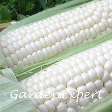 30pcs Snow White Corn Seeds Vegetable Seeds Bonsai Potted White Corn Seeds Home Garden Free Shipping