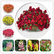 Antirrhinum Majus Seeds Dwarf Common Snapdragon Multi Color Flower Seeds Garden Home Bonsai Potted Plants Planting 120 Pcs(China)