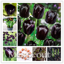 Buy 5pcs Bulbs True Baclk Tulip Bulbs (Not Tulip Seeds),Tulips Variety Fresh Bulbous Root Flowers Planted flower bulbs for $2.79 in AliExpress store