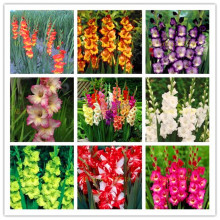 100/bag Perennial Gladiolus Flower Seeds, Rare Sword Lily Seeds for DIY HOME garden planting Aerobic potted plants decoration(China)