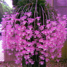 Free Shipping 200 Pcs / Packing Dendrobium Seeds Potted Flower Seed Variety Complete The Budding Rate 95% Mixed Colors Sementes