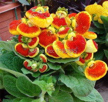 100pcs set Flower seeds calceolaria skgs calceolaria seeds flowering plants indoor balcony bonsai(China)