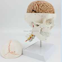 Human Life Size Numbered Skull Cervical Vertebrae with Nerves Brain Model anatomy skeleton veterinary anatomical anatomia(China)