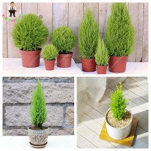 50PCS Mini ITALIAN CYPRESS Tree Seeds Popular Hardy Bonsai Seeds Perennial Potted Plants for Home Garden Planting Free shipping(China)