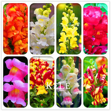 Hot Sale! 100 Pieces/Lot The Death Rose seeds rare and mysterious plant species of snapdragon flower seed(China)