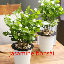 10 pcs White jasmine seeds, Arabian jasmine aromatic plant good smell chinese flower seeds for home garden planting