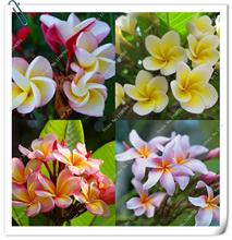 100pcs/bag Plumeria ( Frangipani, Hawaiian Lei Flower ) Seeds, Rare Exotic Flower Seeds,bonsai plant home garden