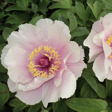Elegant Pink Lotus Peony Flower Seeds Potted Flowers Bonsai Plant Seeds for Home Garden 10 particles / lot