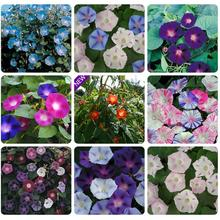 Morning glory flower seed garden seed funny Climbing plants 10 seeds asagao large morning glory
