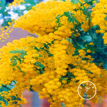 Big Promotion! 100 Seeds/Bag Golden Mimosa seeds Yellow Wattle Tree Flower Seeds bonsai blooms all year round(China)