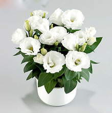 200rare White Eustoma Seeds Perennial Flowering Plants Balcony Potted Flowers Seeds Lisianthus for FLOWER pot planters