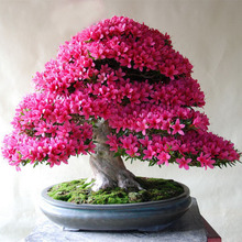 200 Pcs/bag Rare Bonsai Hot Rose &Pink Azalea Seeds Looks Like Sakura Japanese Cherry Blooms Sims Azalea Flower Seeds