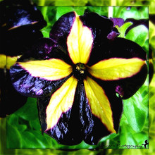 50 Petunia Seeds Black Velvet Petunia Flowers Rare Variety Hardy Balcony Yard Flower Flores Seed Outdoor Garden Decoration Plant